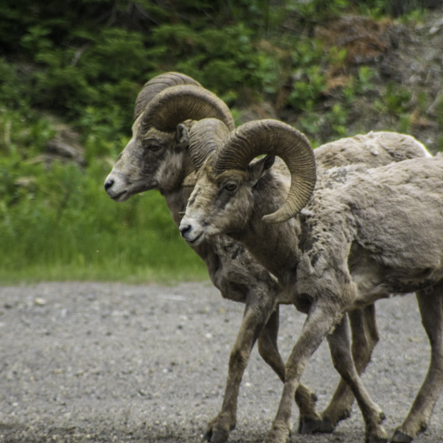 """Banff Big Horn Sheep"" stock image"