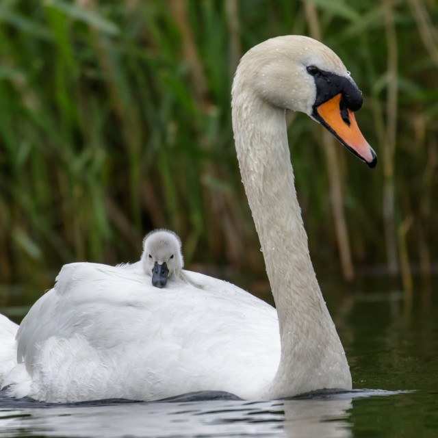 """The Lone Cygnet"" stock image"