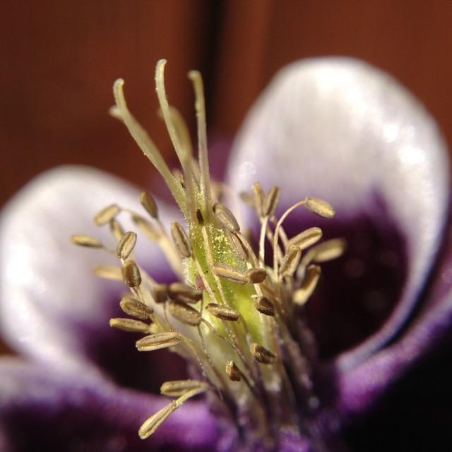 """""""Aquilegia flower"""" stock image"""
