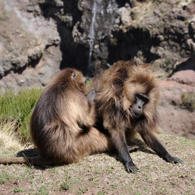"""""""Gelada baboons grooming"""" stock image"""