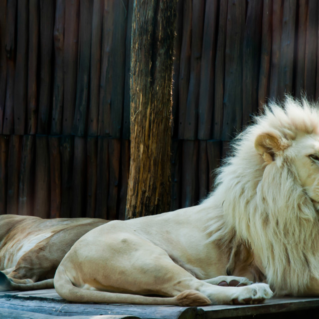 """Lion Siesta"" stock image"