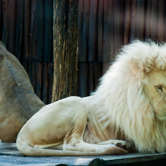 """Lion Siesta 2"" stock image"