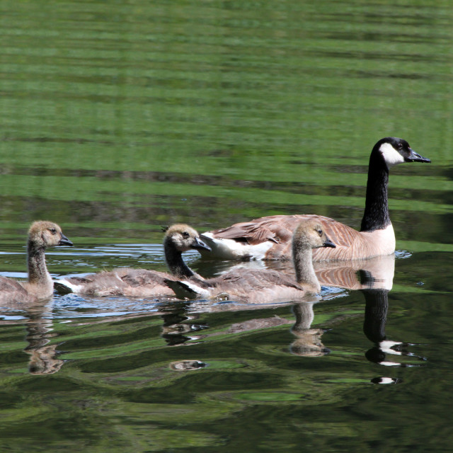 """Swimmin on glass- Goose and babes"" stock image"
