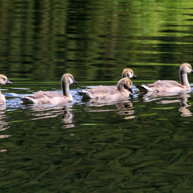 """Goslings swimming"" stock image"