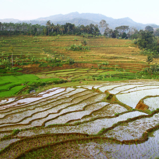 """Rice Field"" stock image"