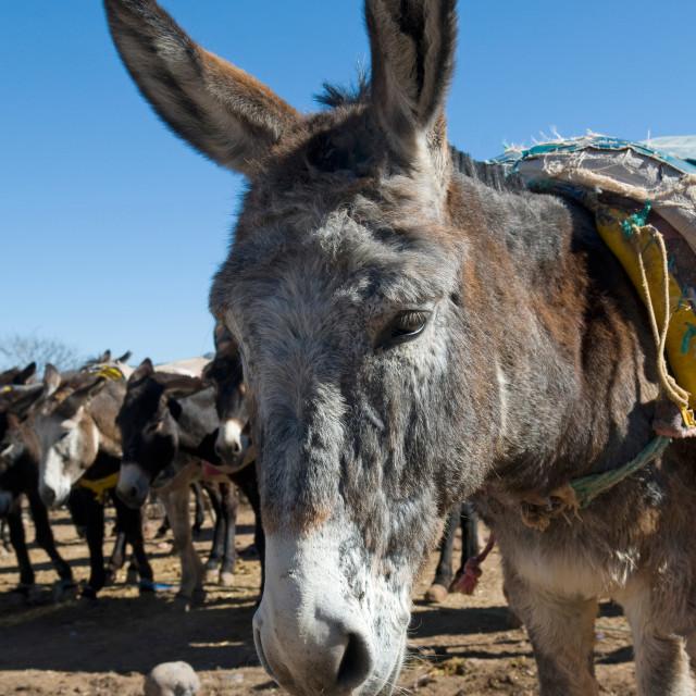 """Moroccan Donkey"" stock image"