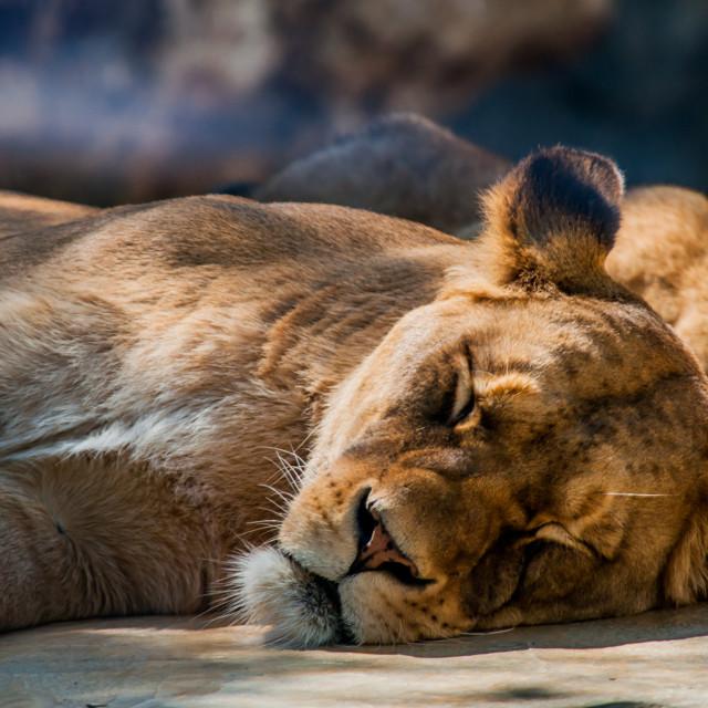 """Sleeping Lioness"" stock image"