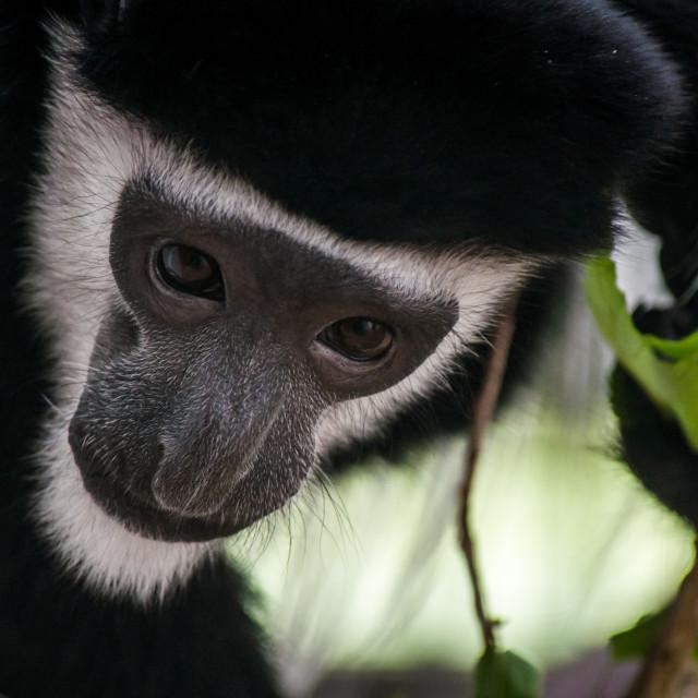 """Curious Monkey"" stock image"