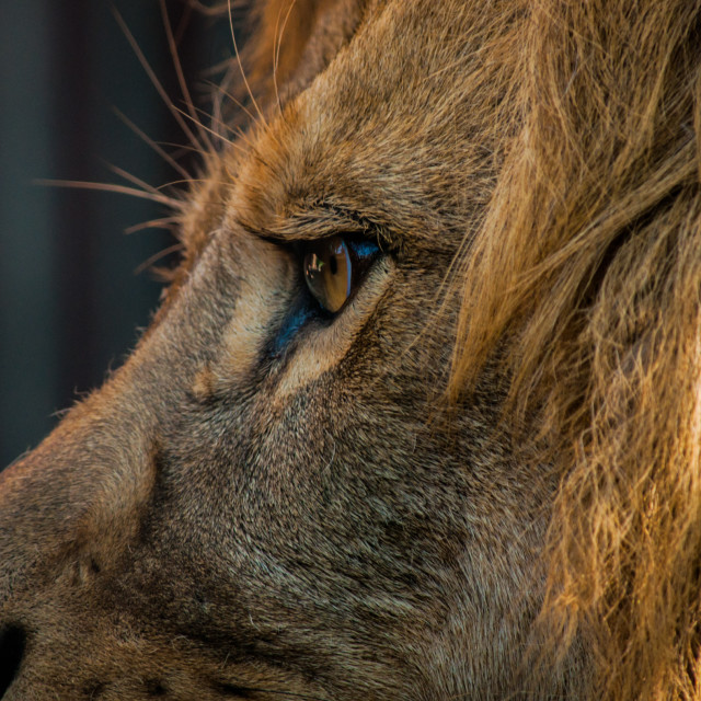 """""""Lion Eyes"""" stock image"""