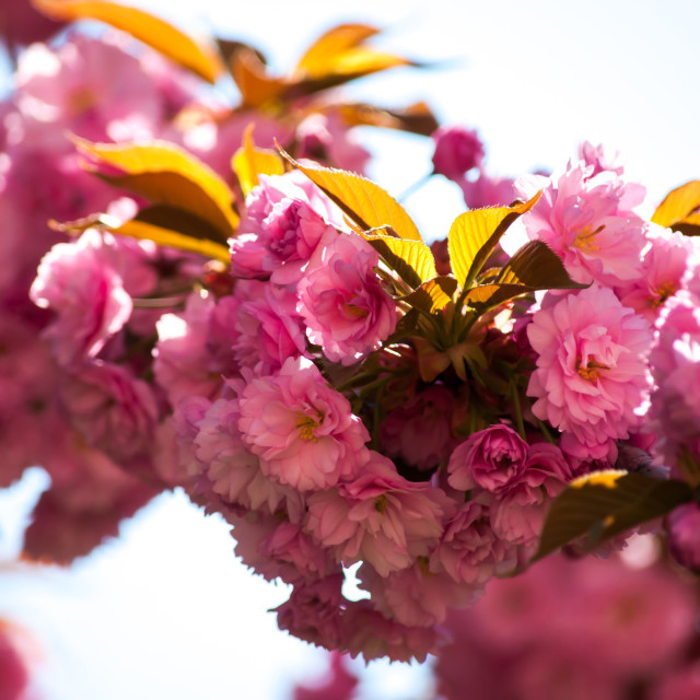 """Pink Cherry Blossom"" stock image"