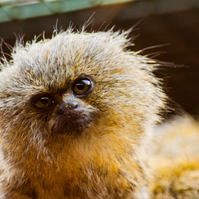 """""""Marmoset Monkey"""" stock image"""