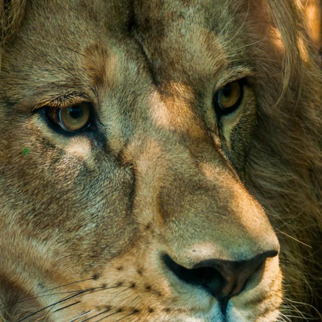 """Male Lion Face 2"" stock image"