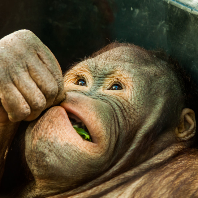 """Feeding orangutan 2"" stock image"