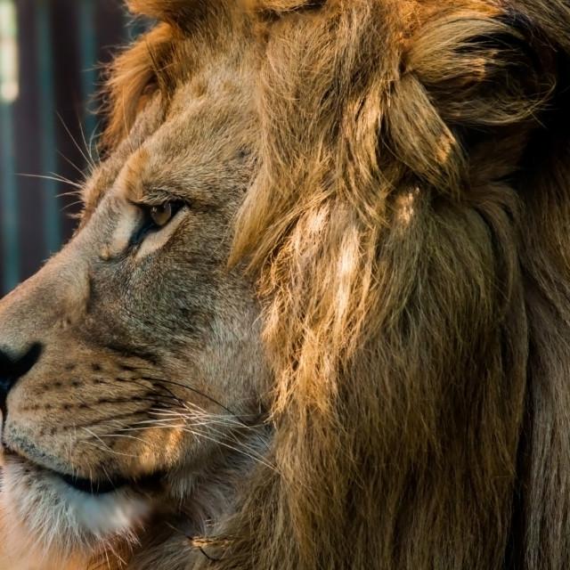 """Male Lion Face 3"" stock image"
