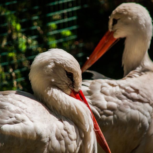 """""""White Storks"""" stock image"""