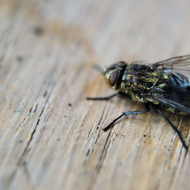 """A common housefly"" stock image"