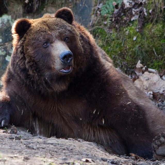 """Bear resting"" stock image"