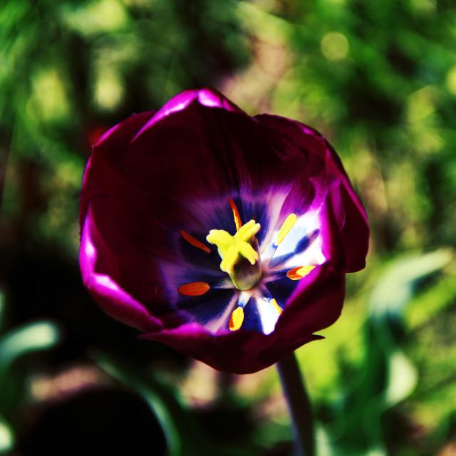 """Bright purple tulip flower at a green garden"" stock image"