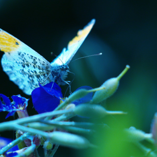 """""""Orange tip male butterfly"""" stock image"""