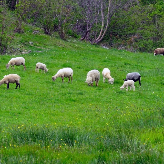 """""""Field of Sheep"""" stock image"""