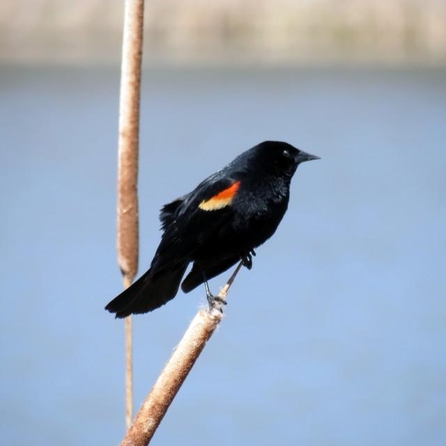 """Redwinged Black bird"" stock image"