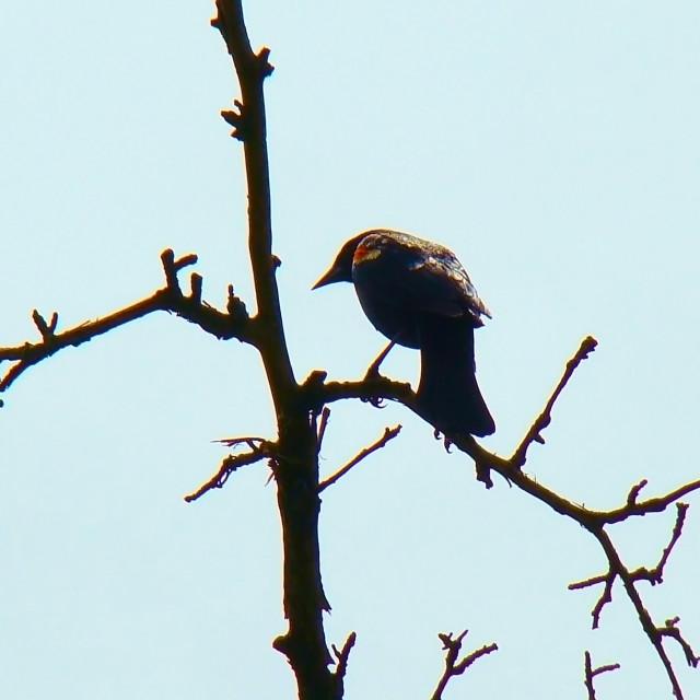 """Redwinged Blackbird"" stock image"