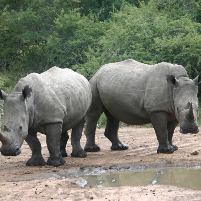 """Rhinoceros at a Watering Hole"" stock image"