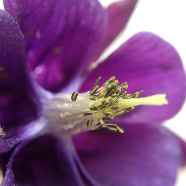 """Close up of an aquilegia"" stock image"