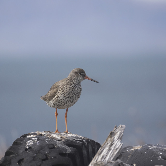 """""""Redshank standing on a tyre"""" stock image"""