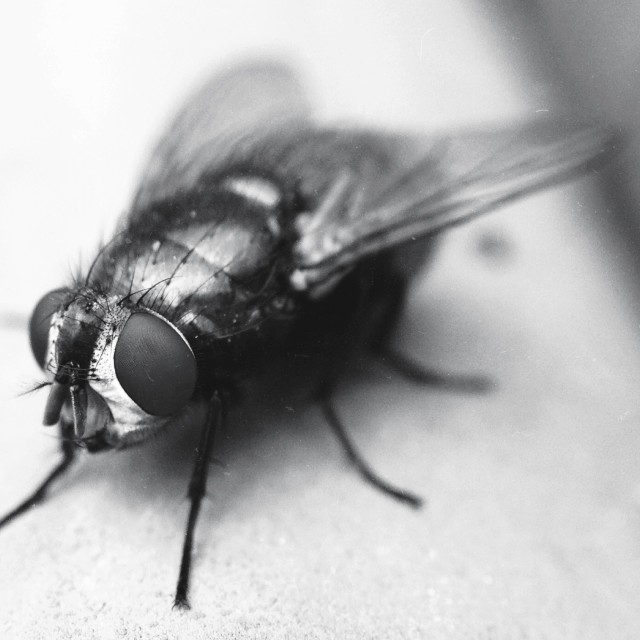 """Macro image of a fly"" stock image"