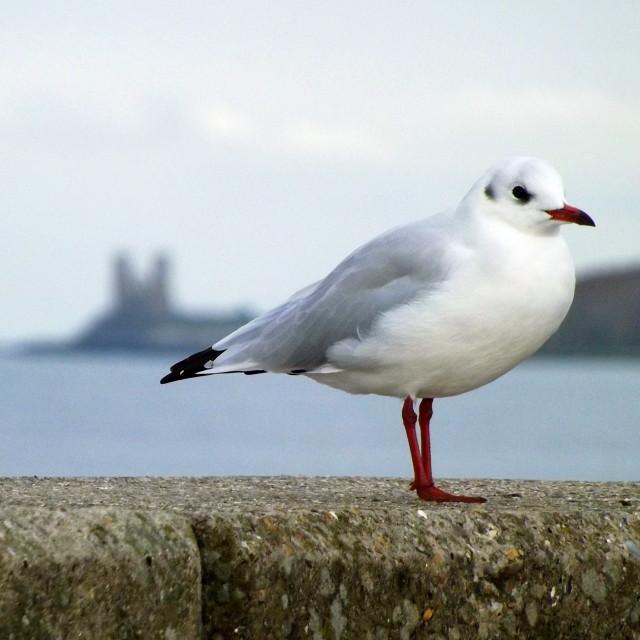 """Reculver Gull"" stock image"