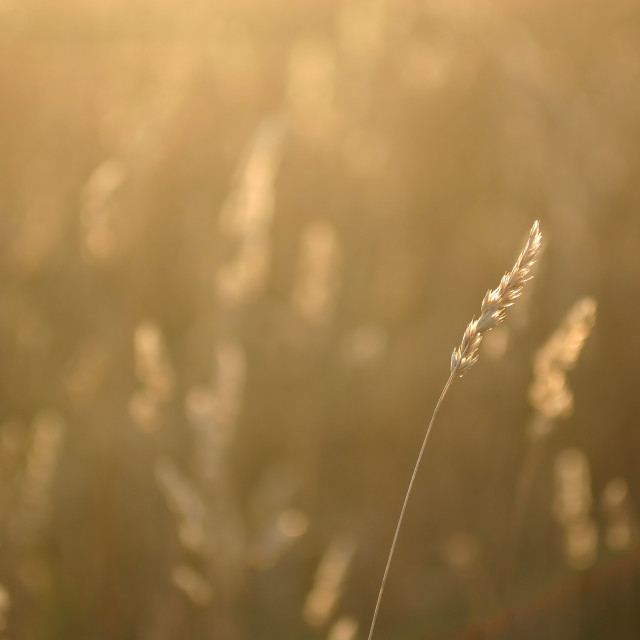 """""""Leaf of grass"""" stock image"""