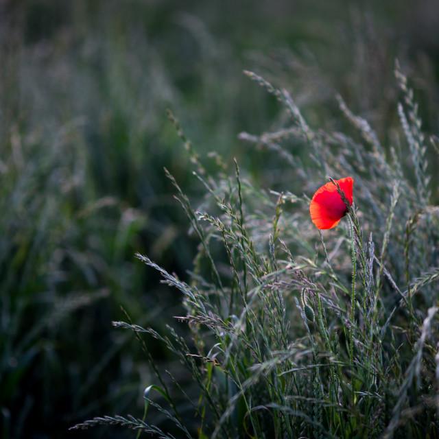 """Wildflower Poppy"" stock image"