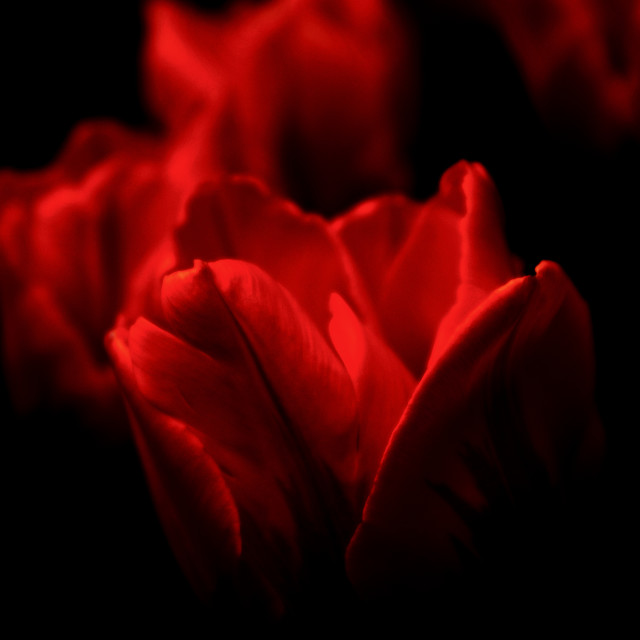 """Tulipfire"" stock image"