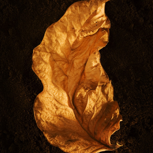 """Old leaf"" stock image"
