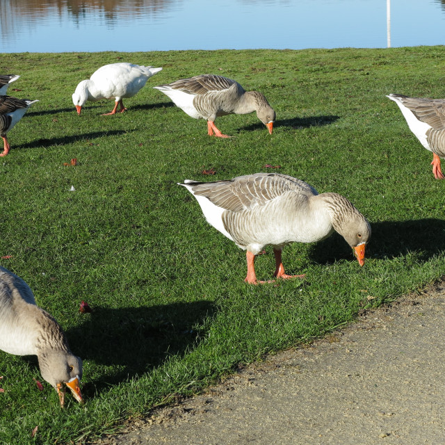 """grazing geese"" stock image"