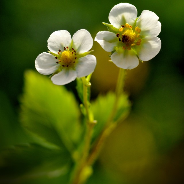 """The Wild Strawberry Flower"" stock image"