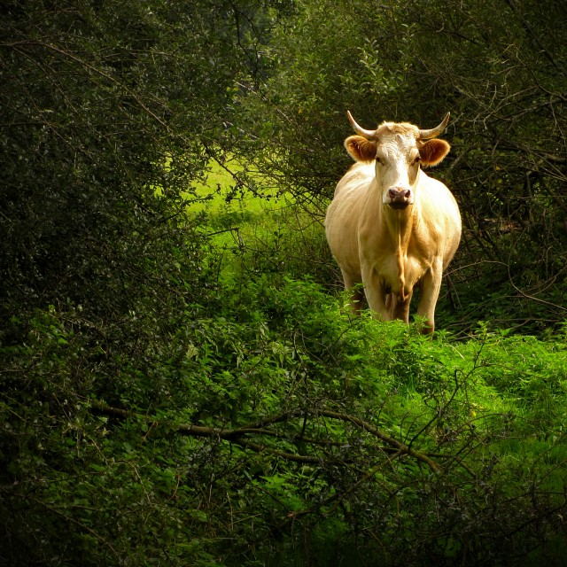 """The Cattle 3"" stock image"