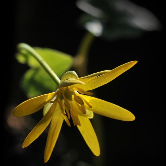 """""""The lesser celandine flower"""" stock image"""