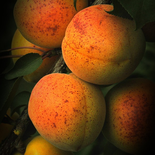 """The Apricots"" stock image"
