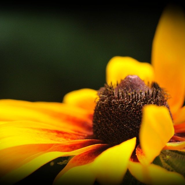 """The Rudbeckia Flower 2"" stock image"
