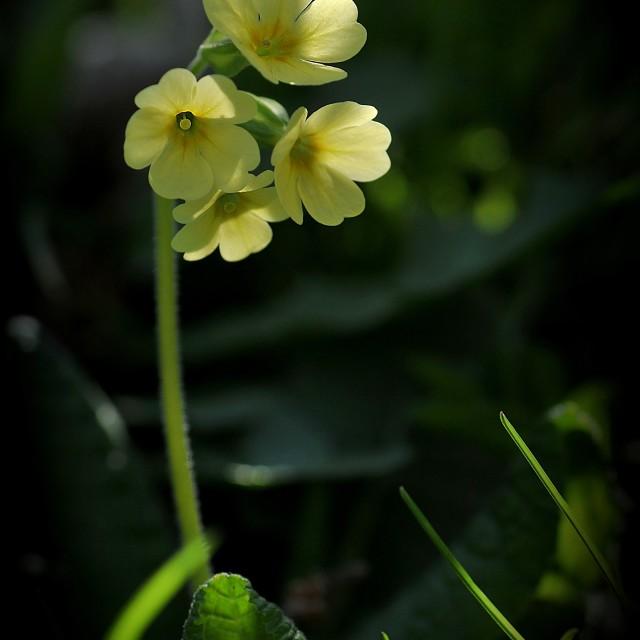 """The Wild Primula Veris"" stock image"