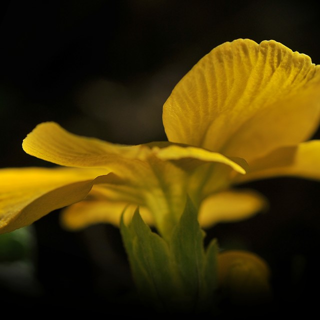 """""""The Flower of Primula"""" stock image"""