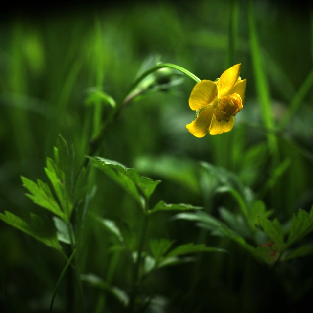 """Ranunculus"" stock image"