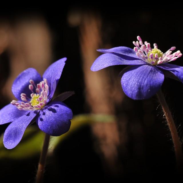 """The Flowers of Hepatica nobilis"" stock image"