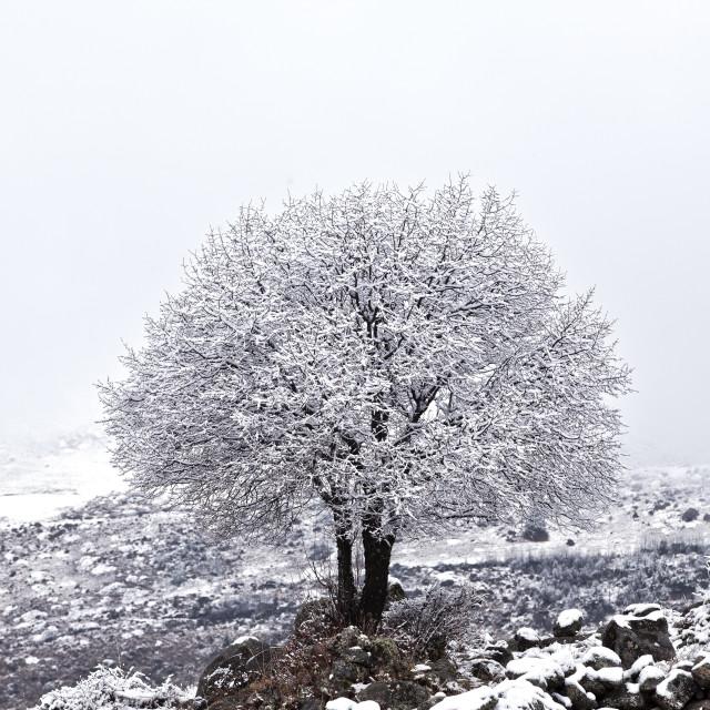 """""""snow tree"""" stock image"""