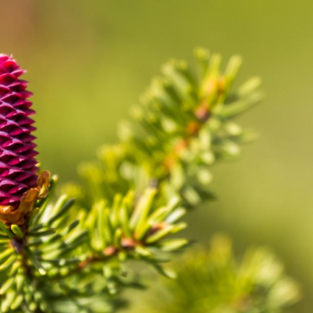 """Spring cone"" stock image"