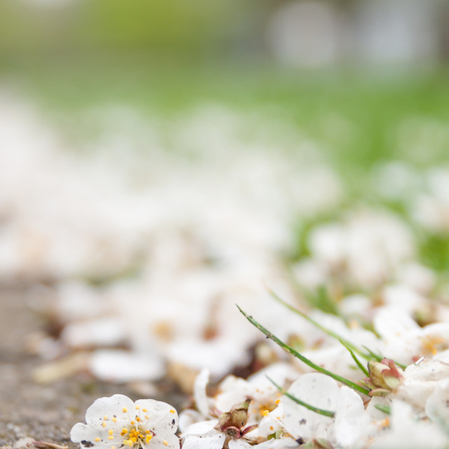 """""""Blossom on the ground"""" stock image"""