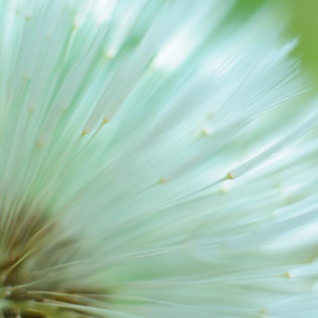 """Dandelion awakening"" stock image"