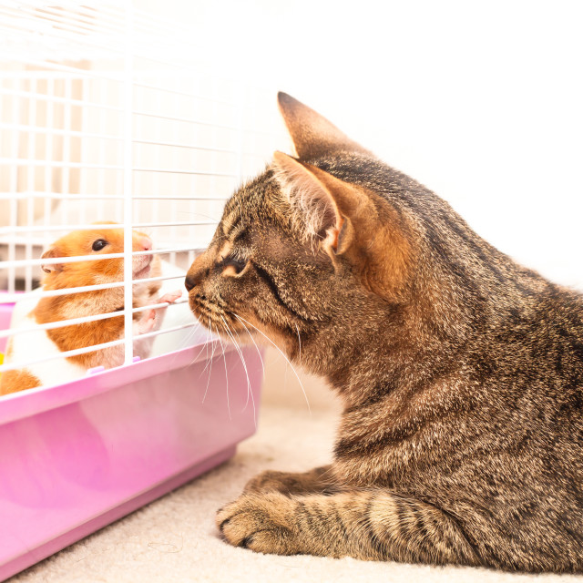 """Cat and hamster"" stock image"